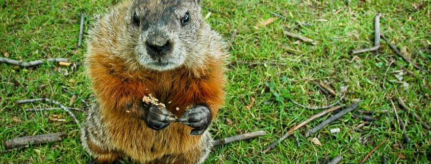wildife control dayton ohio groundhog