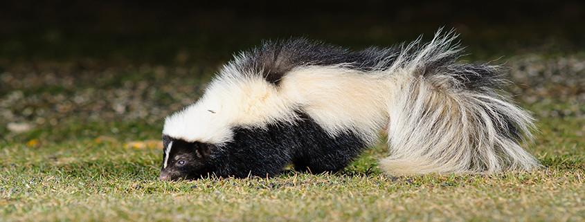 Skunk Removal Dayton Ohio - Dayton Wildlife Removal