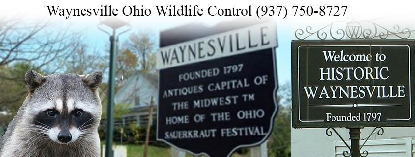 Waynesville Ohio Wildlife Control And Wildlife Removal