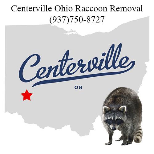 Centerville Ohio Raccoon Removal