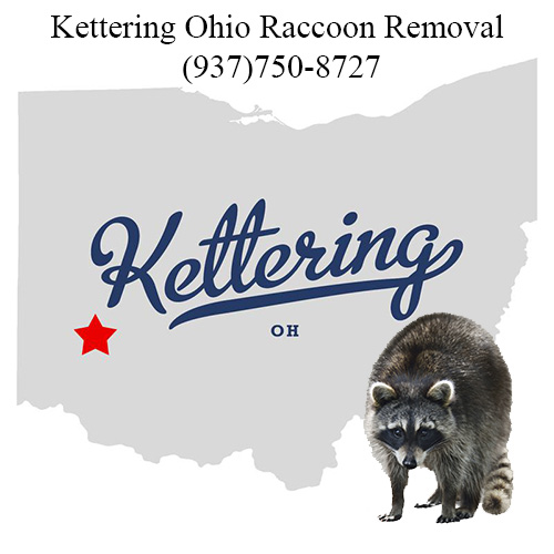 Kettering Ohio Raccoon Removal