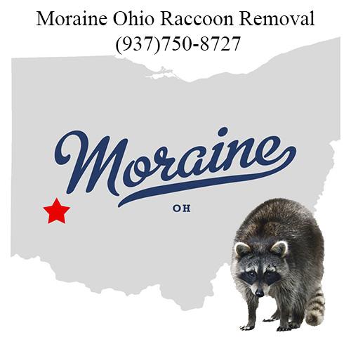 Moraine Ohio Raccoon Removal