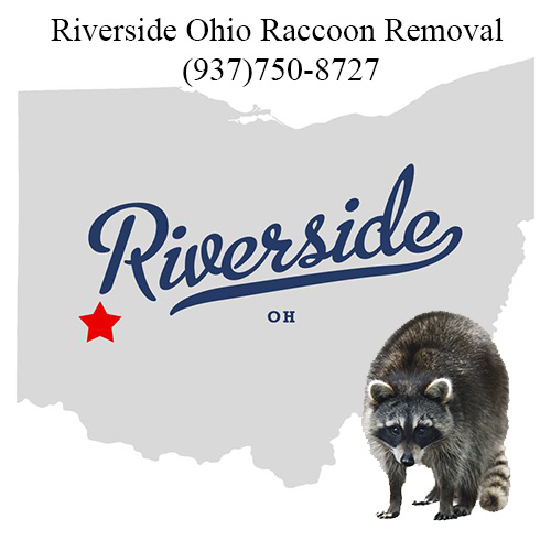 Riverside Ohio Raccoon Removal
