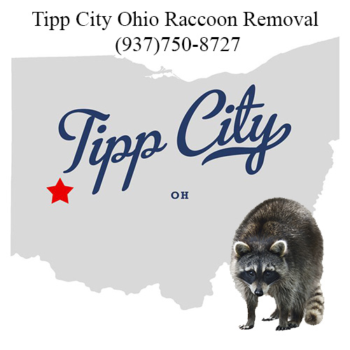 Tipp City Ohio Raccoon Removal
