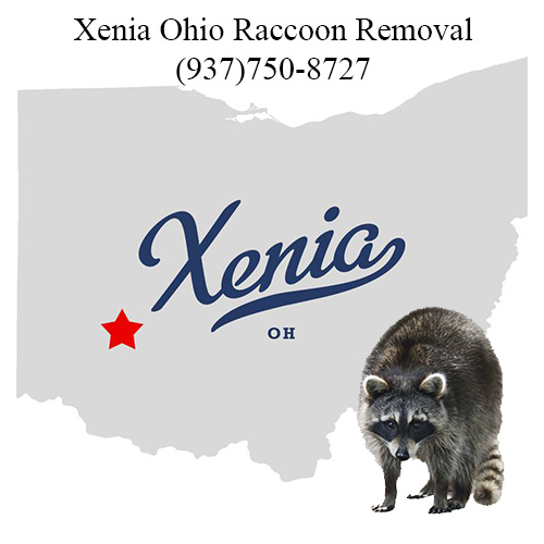 Xenia Ohio Raccoon Removal