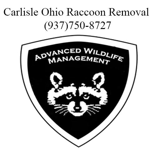 carlisle ohio raccoon removal