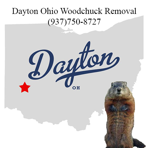 Dayton ohio woodchuck removal
