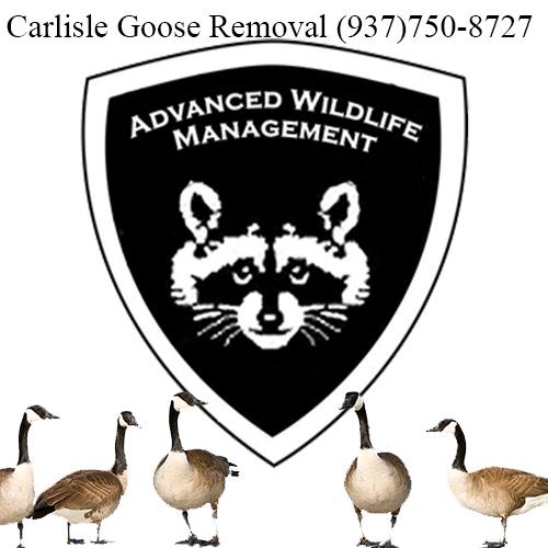carlisle ohio goose removal (937)750-8727