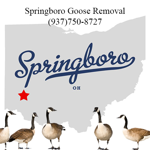 springboro ohio goose removal (937)750-8727