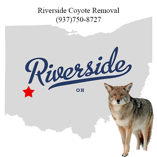riverside coyote removal (937)750-8727