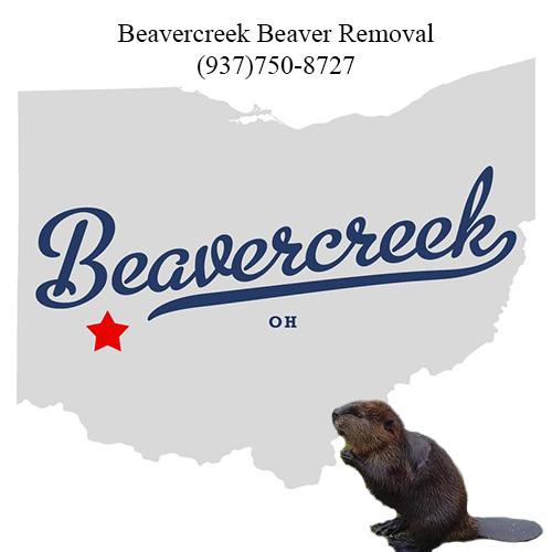 beavercreek beaver removal (937)750-8727
