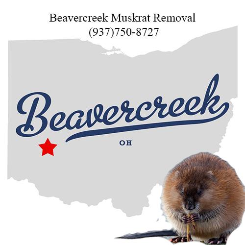 beavercreek muskrat removal (937)750-8727