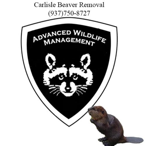 carlisle beaver removal (937)750-8727