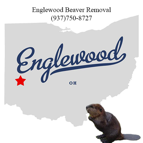 englewood beaver removal (937)750-8727